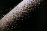 Macrophoto Showing Goose-flesh on Man's Arm Photographic Print by Martin Dohrn