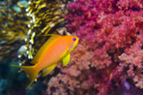 Female Lyretail Anthias Photographic Print by Georgette Douwma