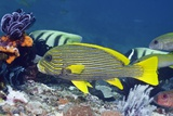 Yellow-ribbon Sweetlips Photographic Print by Georgette Douwma