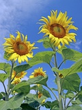 Sunflowers (Helianthus Sp.) Poster by Carlos Dominguez