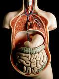 Plastic Model of Internal Human Organs Photographic Print by Martin Dohrn