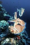 Pharaoh Cuttlefish Print by Georgette Douwma