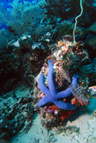 Blue Linckia Starfish Photographic Print by Georgette Douwma