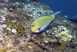Striped Surgeonfish Photographic Print by Georgette Douwma
