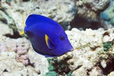 Powder-blue Tang Photographic Print by Georgette Douwma