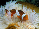 False Clown Anemone Fish Posters by Georgette Douwma
