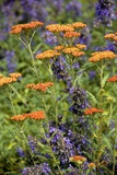 Yarrow And Catmint Flowers Posters by Bob Gibbons