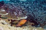 Coral Hind Grouper Posters by Georgette Douwma