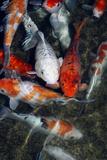 Koi Carp In a Pond Papier Photo par Georgette Douwma