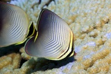 Eastern Triangle Butterflyfish on a Reef Photographic Print by Georgette Douwma