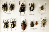 Beetle Collection Photographic Print by Mauro Fermariello