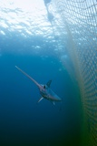 Swordfish Swimming In a Fishing Net Photographic Print by Angel Fitor