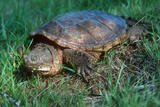 Snapping Turtle Poster by Georgette Douwma