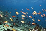 Anthias Swimming Over a Reef Posters by Georgette Douwma