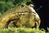 African Bullfrog Poster by David Aubrey