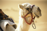 Camel Photographic Print by Adam Gault