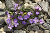 Lilacbush Flowers (Aubrieta Deltoidea) Prints by Bob Gibbons