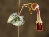 Rosary Vine (Ceropegia Linearis Woodii) Photographic Print by Vaughan Fleming