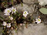 Alpine Lewisia (Lewisia Pygmaea) Prints by Bob Gibbons