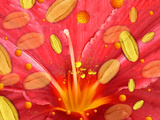 Pollen And Flower Photographic Print by Hannah Gal
