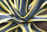 Agave Americana 'Marginata' Posters by Vaughan Fleming
