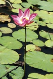 Sacred Lotus (Nelumbo Nucifera) Reproduction photographique par Georgette Douwma