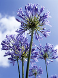 African Lilies (Agapanthus Sp.) Photographic Print by Gavin Gastrolab