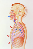 Illustration of the Exhalation Phase of Coughing Photo by John Bavosi