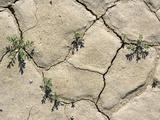 Desert Rockcress (Sibara Deserti) Posters by Bob Gibbons