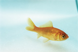 Goldfish Photographic Print by David Aubrey