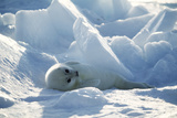 Harp Seal Pup Photographic Print by Doug Allan