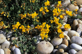 Bird's-foot Trefoil Photographic Print by Adrian Bicker