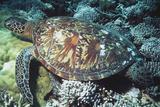 Green Sea Turtle Reproduction photographique par Georgette Douwma