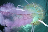 Mauve Stinger Jellyfish Photographic Print by Angel Fitor