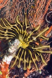 Featherstar on Gorgonian Coral Posters by Georgette Douwma