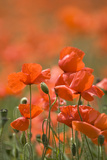 Common Poppies (Papaver Rhoeas) Photographic Print by Adrian Bicker