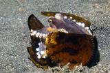 Veined Octopus Photo by Georgette Douwma