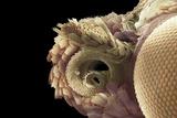 Moth Proboscis And Eye, SEM Photographic Print by Dr. David Furness