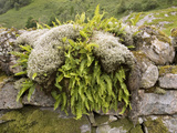 Ferns And Mosses Photographic Print by Bob Gibbons