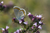 Silver-studded Blue on Marjoram Poster by Bob Gibbons