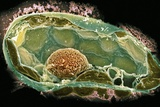 Plant Cell, SEM Print by Dr. David Furness
