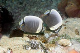 Reticulated Butterflyfish on a Reef Posters by Georgette Douwma