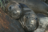 Southern Elephant Seals Photo by Doug Allan