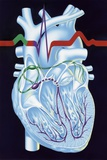 Electrical Conduction In the Heart, Artwork Posters by John Bavosi