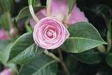 Camellia X Williamsii 'E G Waterhouse' Photographic Print by Maxine Adcock