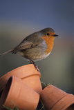 European Robin Photographic Print by David Aubrey