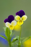 Heartsease (Viola Tricolor) Photographic Print by Bob Gibbons