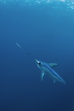 Swordfish Swimming Photo by Angel Fitor