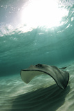 Southern Stingray Poster by Georgette Douwma