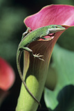 Green Anole Lizard Poster by David Aubrey